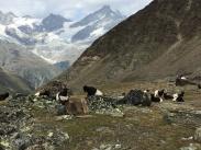 Las famosas cabras suizas, la Tête Noire du Valais